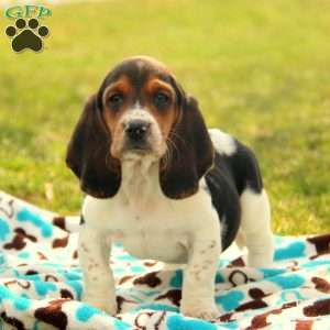 a Basset Hound puppy named Melody