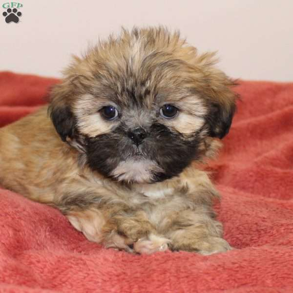 Milly, Lhasa Apso Puppy