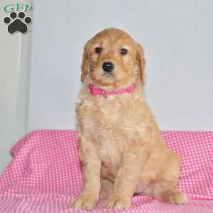 a Goldendoodle puppy named Muriel
