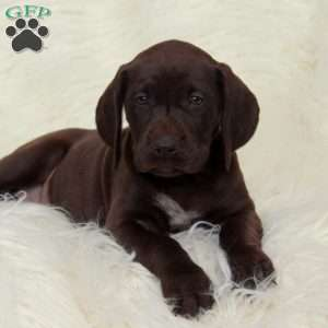 a German Shorthaired Pointer puppy named Mya