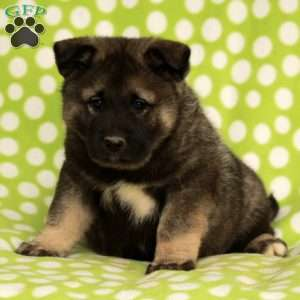 a Norwegian Elkhound puppy named Peppermint
