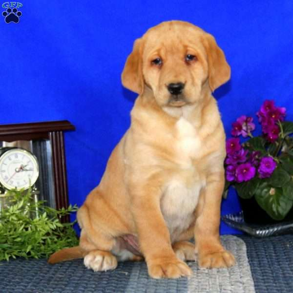 Pluto, Yellow Labrador Retriever Puppy