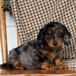 a Dachshund puppy named Quinten