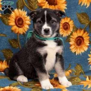 a Akita Mix puppy named Radiant