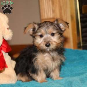 a Silky Terrier puppy named Reba