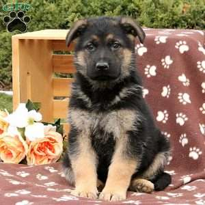 a German Shepherd puppy named Rider