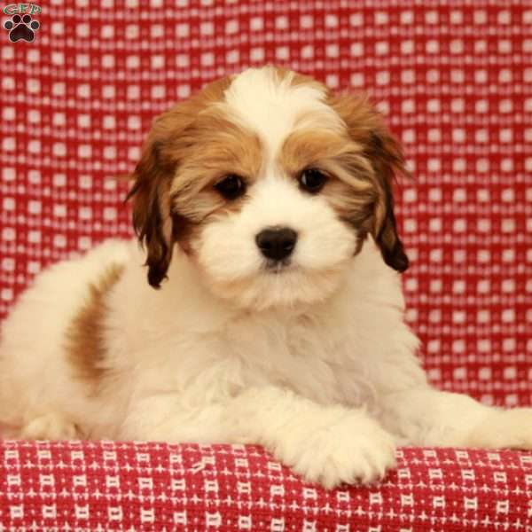 Rosie, Lhasa Apso Mix Puppy