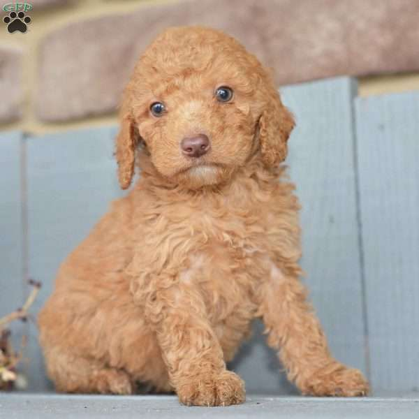 standard poodles for sale in ohio