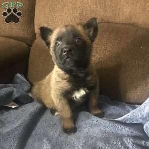 a Belgian Malinois puppy named Sam