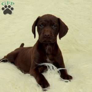a German Shorthaired Pointer puppy named Shiloh
