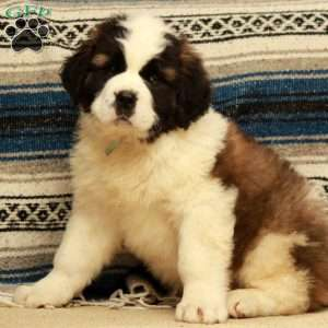 a Saint Bernard puppy named Shy