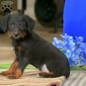 a Toy Poodle Mix puppy named Sonny