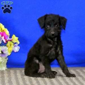 a Toy Poodle Mix puppy named Spice