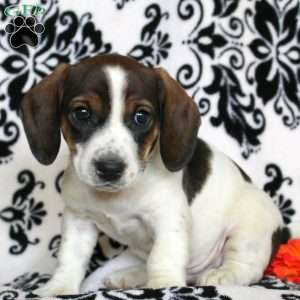 a Jack Russell Mix puppy named Sport