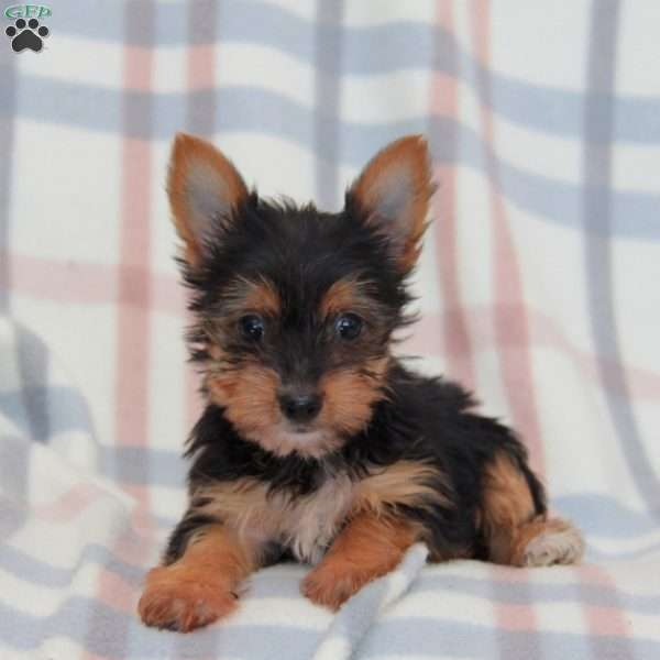 Stella, Yorkshire Terrier Puppy