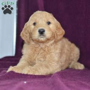 a Goldendoodle puppy named Storm