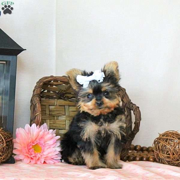 Sunny – Teacup, Yorkshire Terrier Puppy