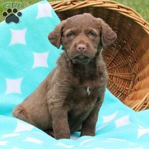 a Chesapeake Bay Retriever puppy named Sunshine