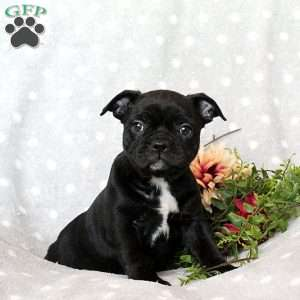 a French Bulldog Mix puppy named Sweetie