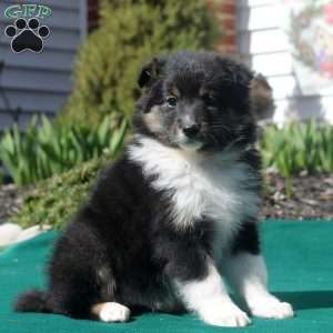 a Border Collie Mix puppy named Tabitha