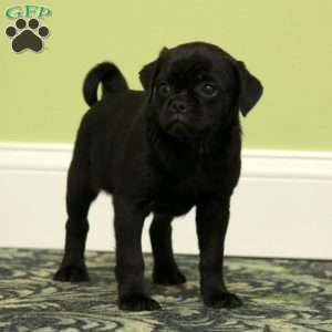 a Pug Mix puppy named Tiffy