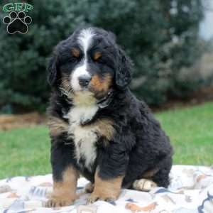 a Bernese Mountain Dog puppy named Timmy