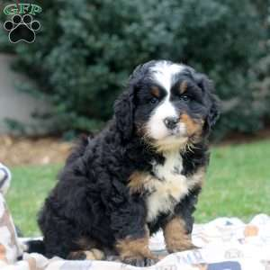 a Bernese Mountain Dog puppy named Tommy
