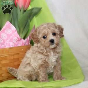 a Maltipoo puppy named Tootsie