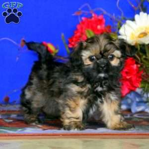 a Shorkie puppy named Tootsie