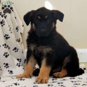 a German Shepherd puppy named Triggs