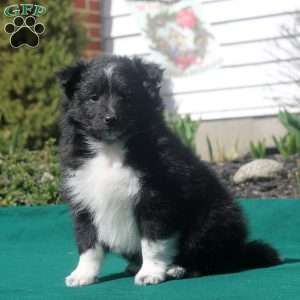 a Border Collie Mix puppy named Trixie