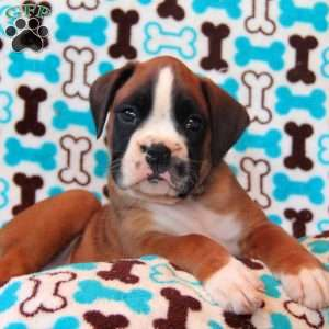 a Boxer puppy named Trotter