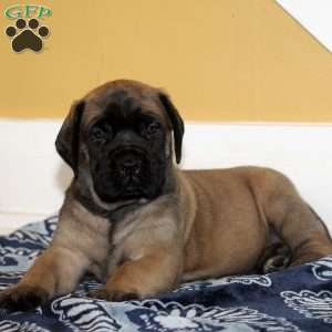 a English Mastiff puppy named Val