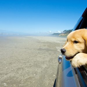 california dog-friendly travel guide - golden retriever looking out of car window driving on beach