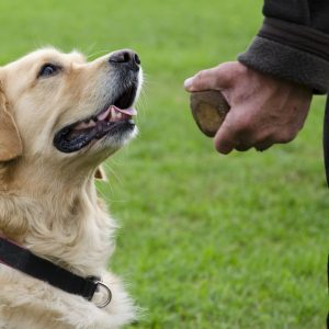 how to train your dog to leave it - obedience training with golden retriever