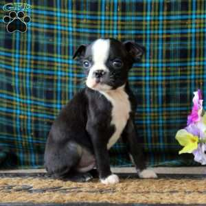 a Boston Terrier puppy named Ajay