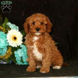 a Cavapoo puppy named Alfonso
