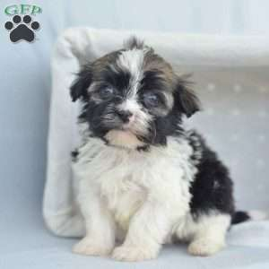 a Havanese puppy named Alice