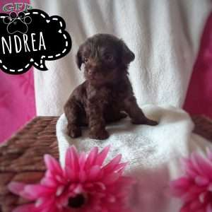 a Yorkie-Poo puppy named Andrea