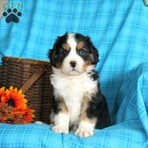 a Miniature Bernese Mountain Dog puppy named Andrew