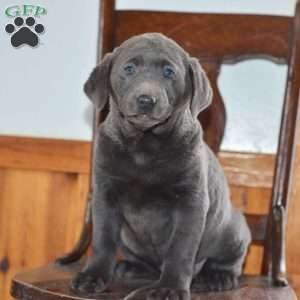 a Charcoal Labrador Retriever puppy named Anna