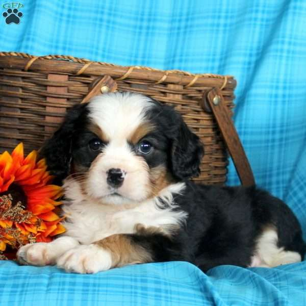 Anthony Miniature Bernese Mountain Dog Puppy For Sale In