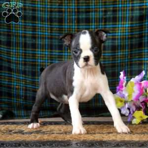 a Boston Terrier puppy named April