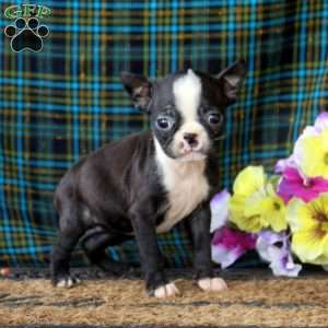 a Boston Terrier puppy named Ava