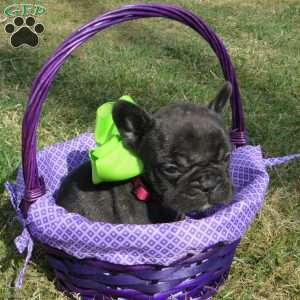 a French Bulldog puppy named Baxter