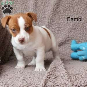 a Jack Russell Terrier puppy named Bambi