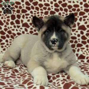 a Akita puppy named Bell