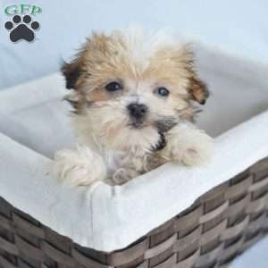 a Havanese puppy named Bella