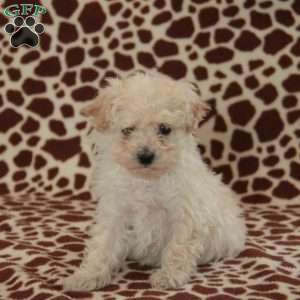 a Toy Poodle puppy named Bella