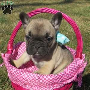 a French Bulldog puppy named Bella